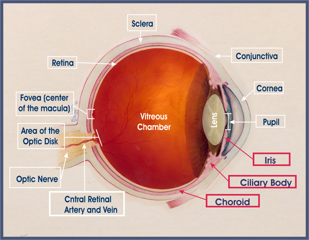 Patient guides uveitis oiuf anatomy of the eye biocorpaavc Image collections