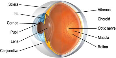 The macula is located roughly in the center of the retina, temporal to the optic nerve